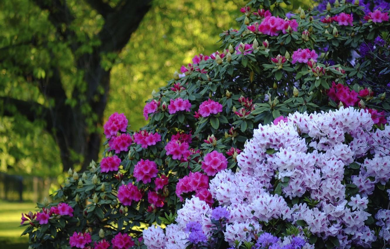 Фото обои парк, Англия, Лондон, кусты, London, England, рододендроны, Greenwich, Гринвич, Greenwich Park, Гринвичский парк
