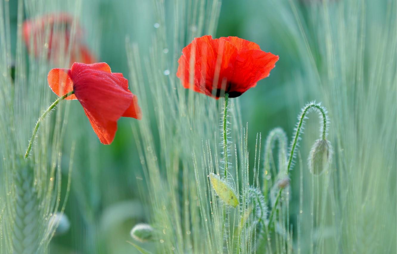 Фото обои поле, макро, маки, размытость, Мак, красные, два цветка