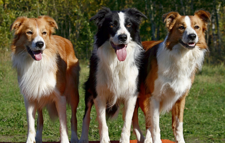 Фото обои собака, пёс, бордер-колли