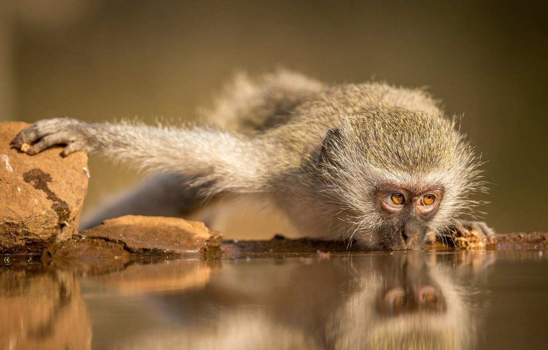 Фото обои обезьяна, водопой, Южная Африка, Зиманга