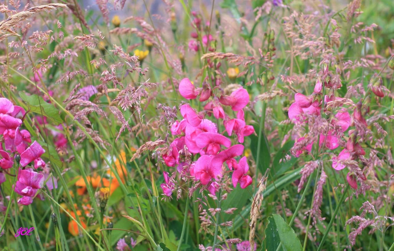 Фото обои поле, трава, цветы, растение, луг