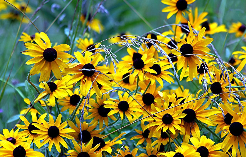 Фото обои трава, цветы, природа, растения, жёлтые