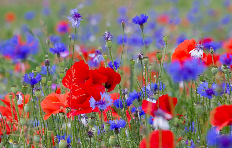картинки : поле, Красный, Маки, пейзаж, Зеленый, лето, задний план ...   850x1332