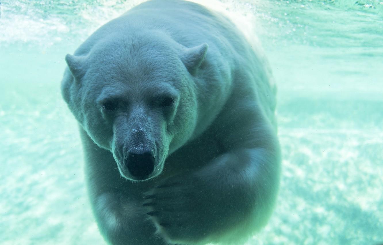 Качественное фото белый медведь под водой