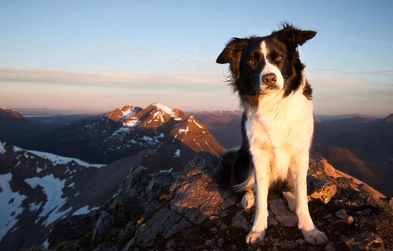 Фото обои взгляд, горы, собака, Бордер-колли