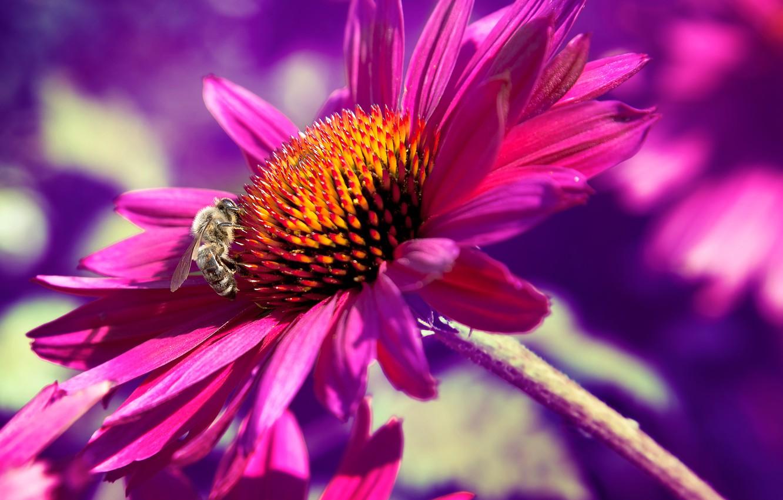 Фото обои цветок, макро, природа, пчела