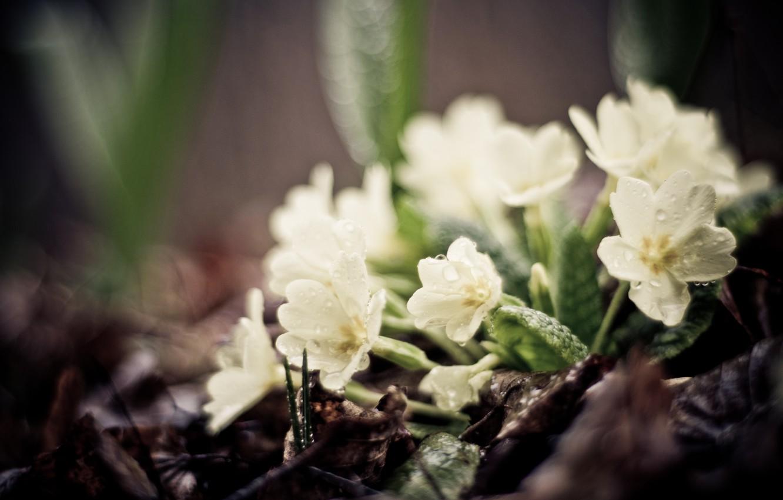 Фото обои зелень, листья, капли, макро, цветы, земля, растения, фокус, весна, белые