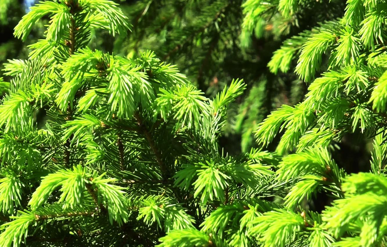 Фото обои зелень, лето, текстура, Ель