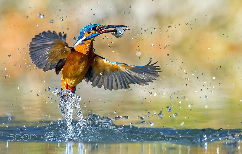 Фото обои брызги, птица, рыба, зимородок, улов