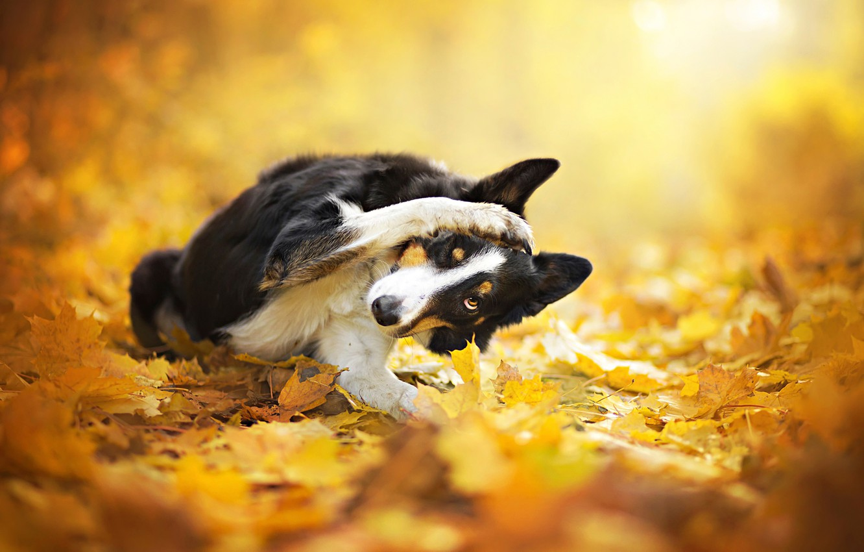 Фото обои осень, листья, собака, боке