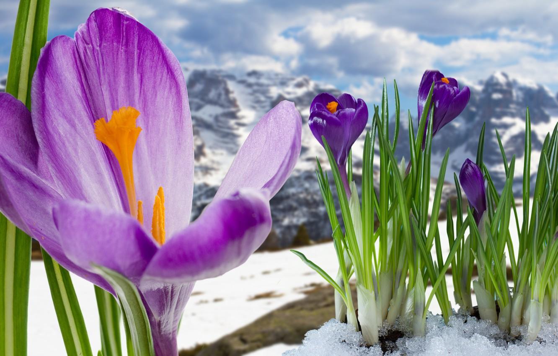 Фото обои весна, крокусы, цветение, flowers, mountain, snow, spring, crocus