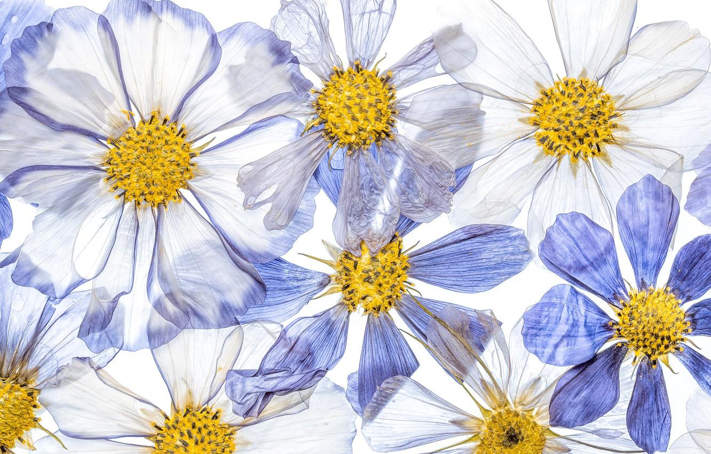 Фото обои цветы, краски, лепестки, космея