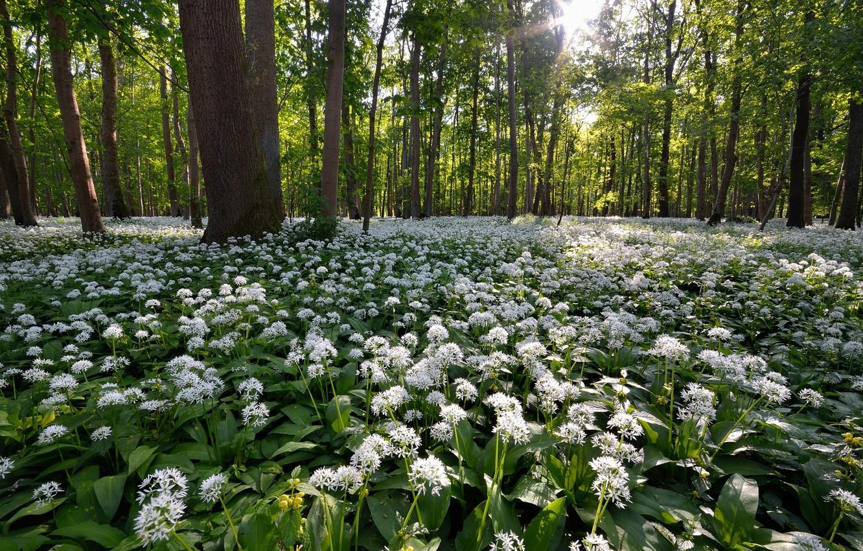Фото обои лес, цветы, весна