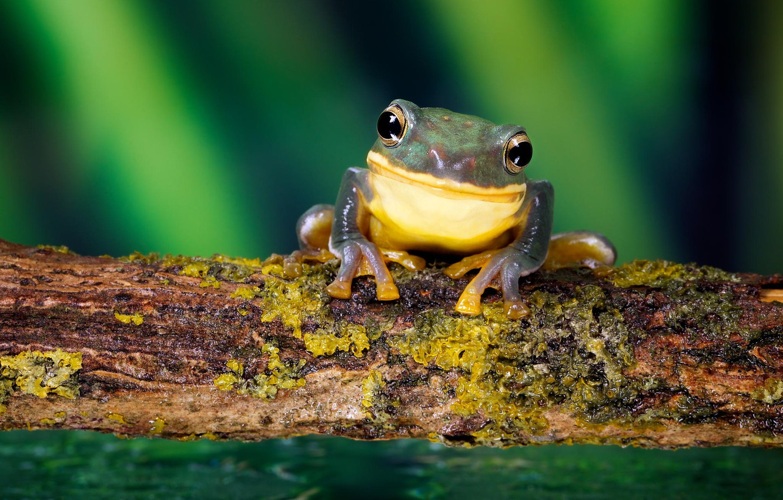 Фото обои лес, улыбка, лягушка, nature, frog, smile, macro, small