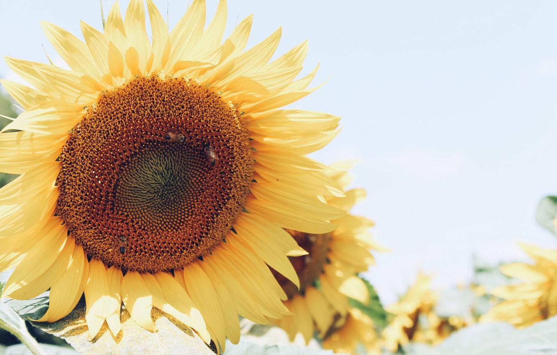 Фото обои подсолнух, желтые, лепестки