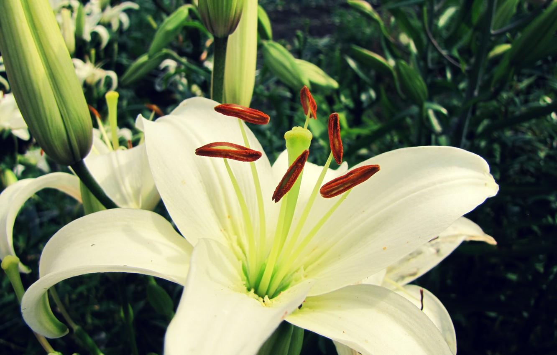 Фото обои цветок, макро, лилия, белая