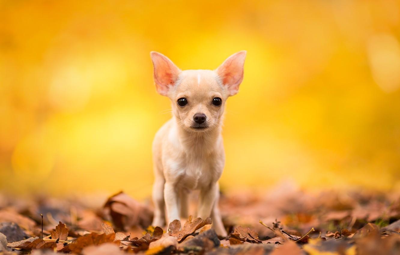 Фото обои осень, взгляд, листья, собака, чихуахуа, пёсик, собачонка