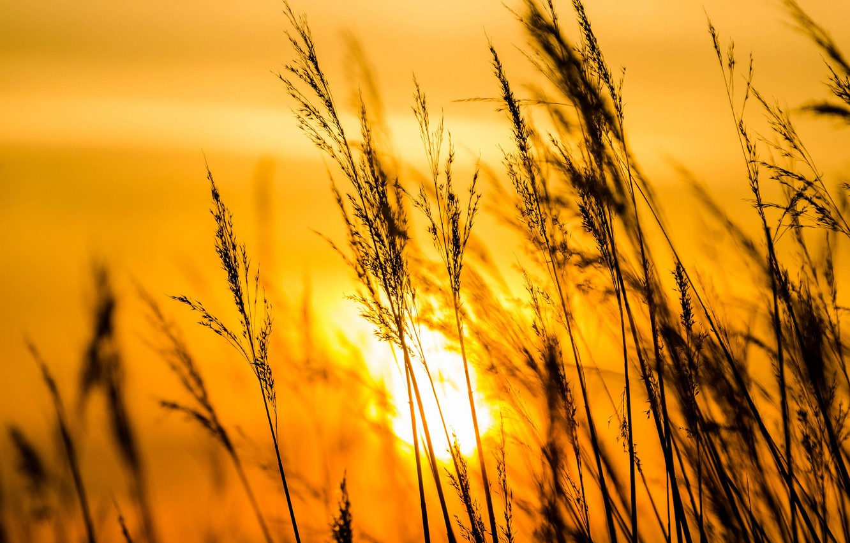 Фото обои солнце, закат, травинки