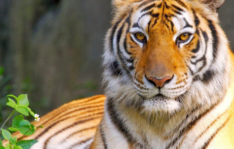 Фото обои кошка, глаза, взгляд, тигр, хищник, царь, tiger, eyes, cat, predator, король, look, king