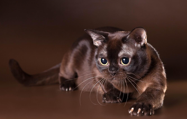 бирманская кошка шоколадного