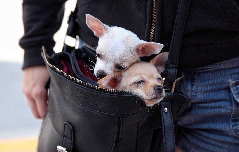 Фото обои собаки, сумка, парочка, чихуахуа, переезд, мордашки