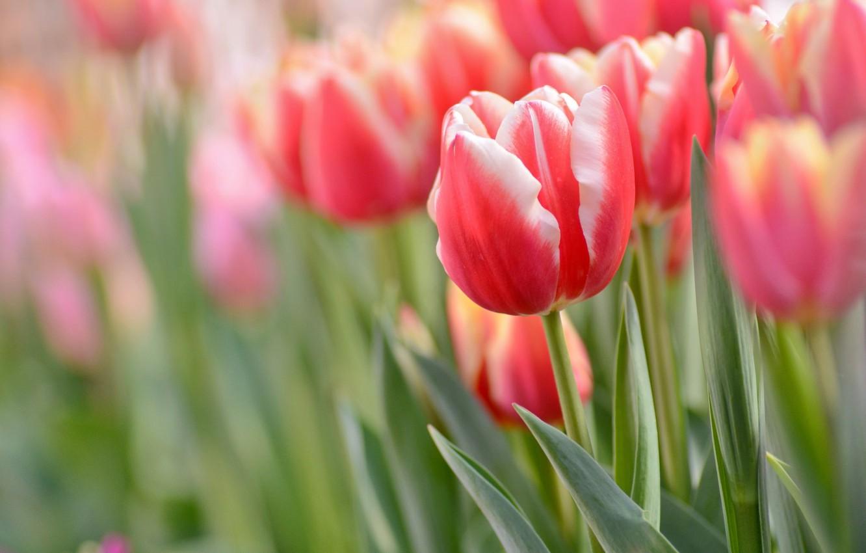 Весна тюльпаны фото компоновка
