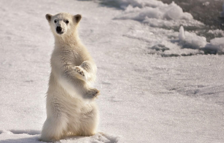 Фото обои снег, медведь, север