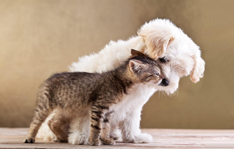 Фото обои кошка, любовь, котенок, щенок, love, puppy, kitten, Friends, small dog and cat together, Друзья, маленькая …