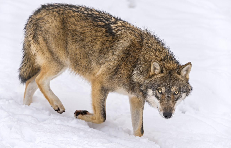 Волки картинки детям