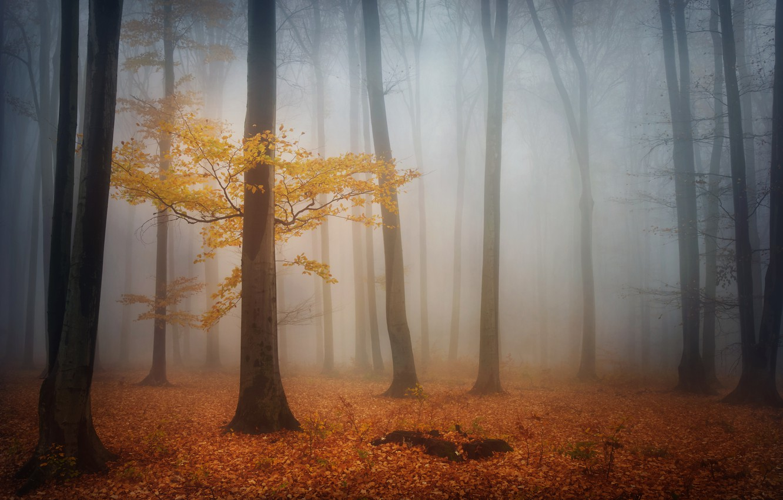 Фото обои осень, лес, деревья, туман, листва, утро