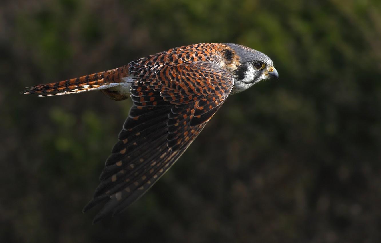 Фото обои полет, птица, крылья, взмах, Пустельга