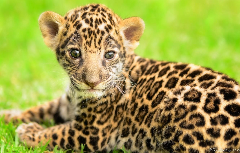 Фото обои хищник, малыш, мордочка, пятна, ягуар, детёныш, котёнок, дикая кошка
