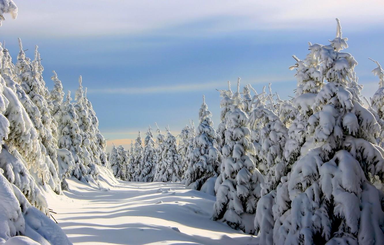 Фото обои зима, снег, ёлки