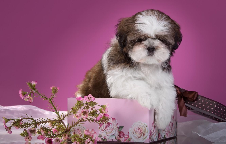 Фото обои цветы, коробка, щенок, ши-тцу