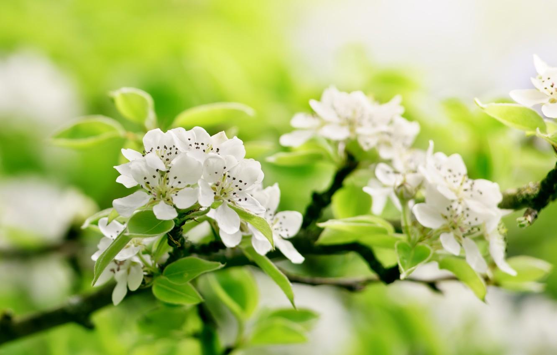 Фото обои зелень, цветы, ветки, дерево, яблоня