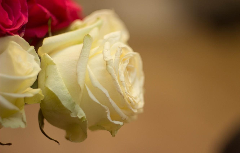 Фото обои макро, роза, белая роза
