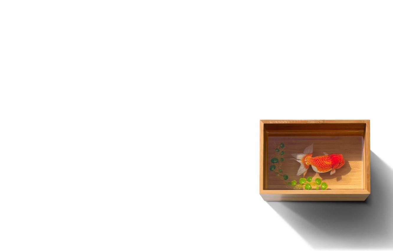 Фото обои вода, коробка, рыбка, рыба, белый фон, емкость, золотая, короб, ряска