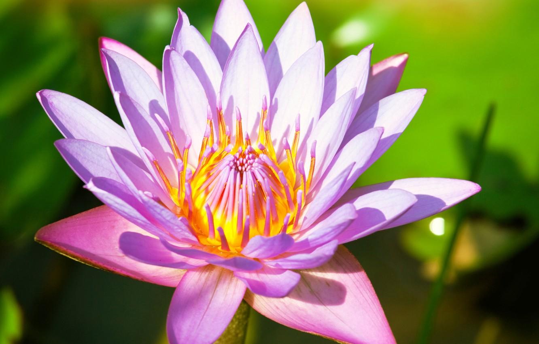 Все о кувшинке это цветок