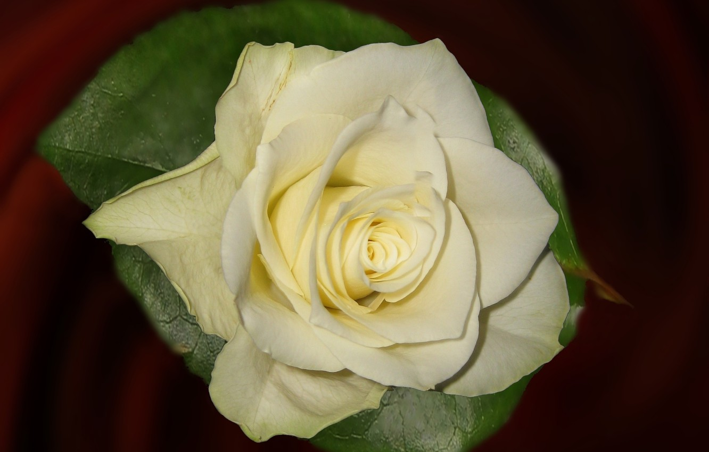 Фото обои фон, роза, лепестки, бутон, белая роза