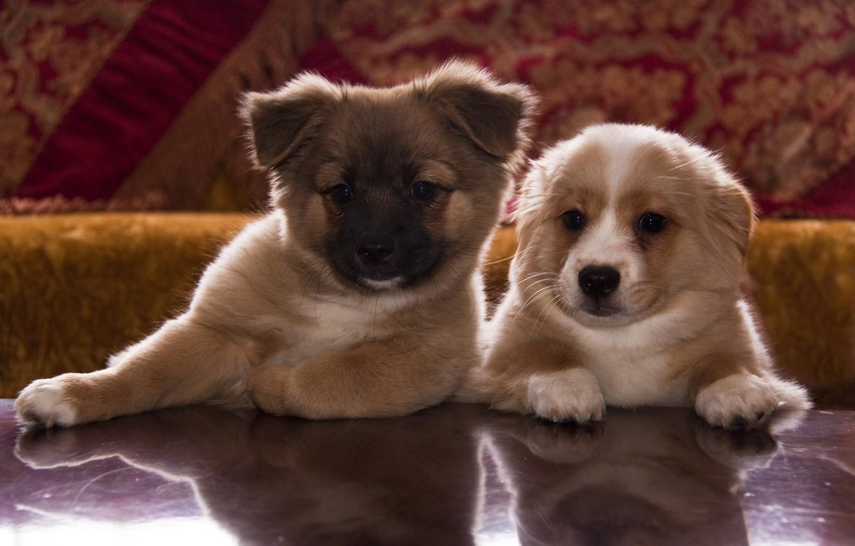 Фото обои лапки, щенки, морды, мордочки, собачки, щенята, мордашки