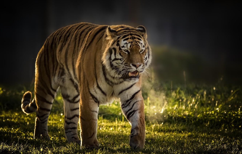 Фото обои тигр, фон, хищник, дикая кошка, красавец