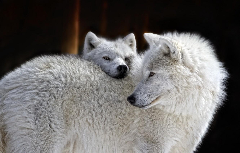 Фото обои природа, фон, волки