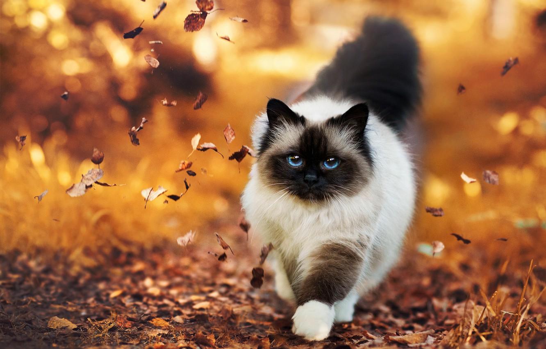 Фото обои осень, листья, Кошка, пушистая
