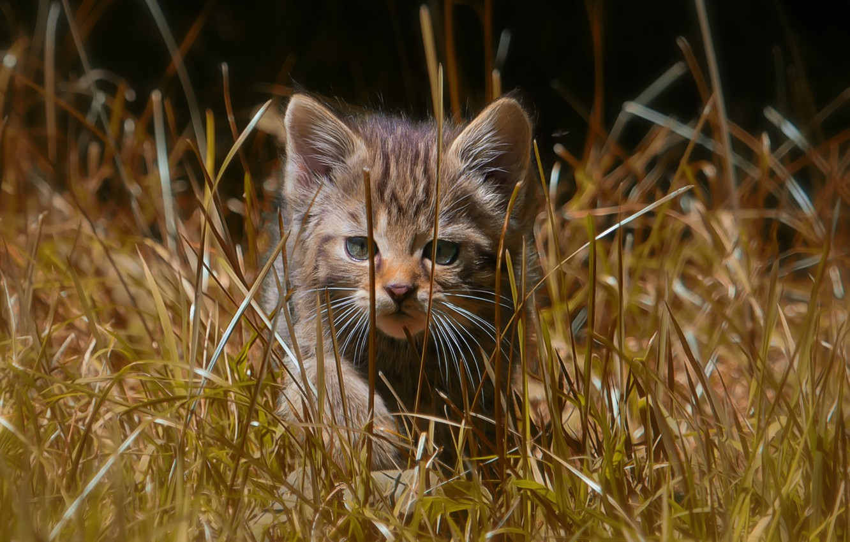 Фото обои трава, прогулка, котёнок, дикая кошка, лесная кошка