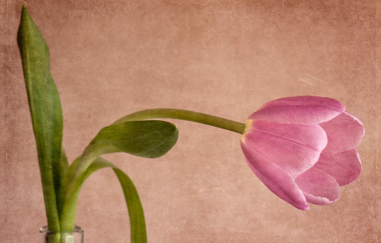 Фото обои стиль, фон, тюльпан