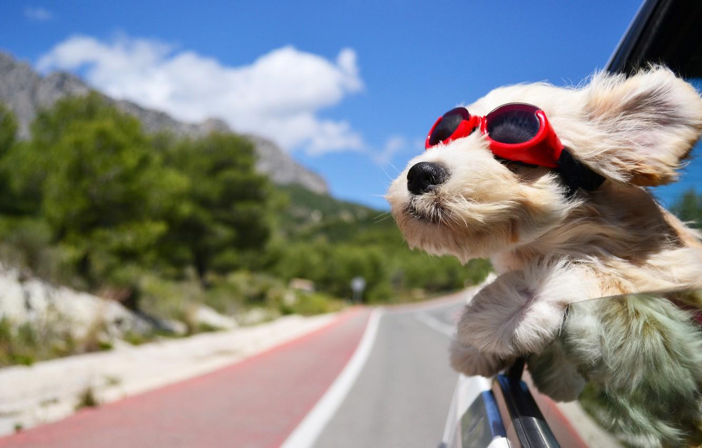 Фото обои дорога, машина, ветер, собака, очки, тёмные