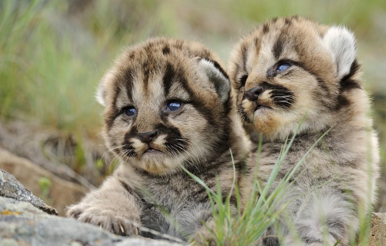 Фото обои взгляд, тигр, тигрята
