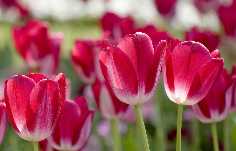 Фото обои лепестки, размытость, тюльпаны, розовые
