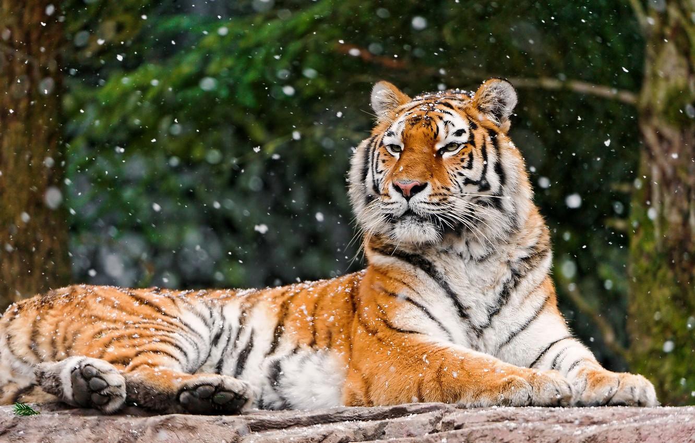 Фото обои зима, лес, морда, снег, тигр, фон, камень, лежит, смотрит, падает, большая полосатая кошка, Panthera tigris