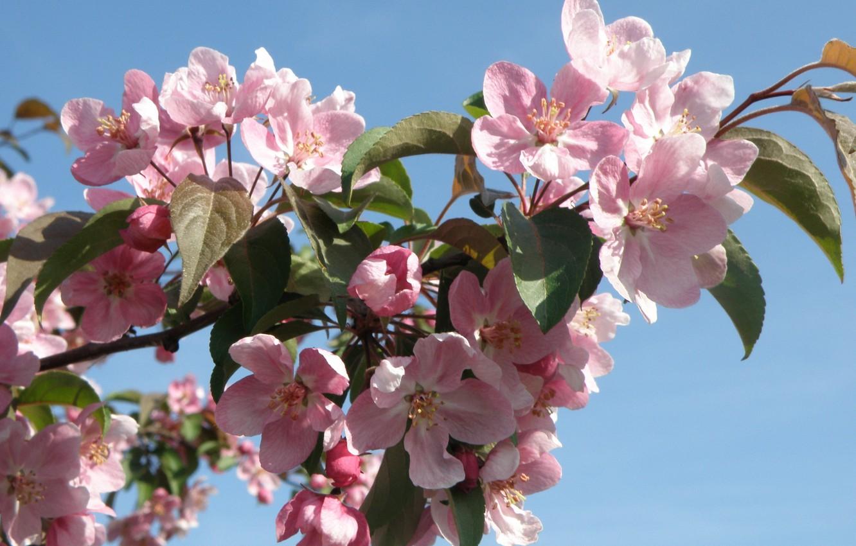 них картинка на рабочий стол цветение яблони поверьям, этот необычный
